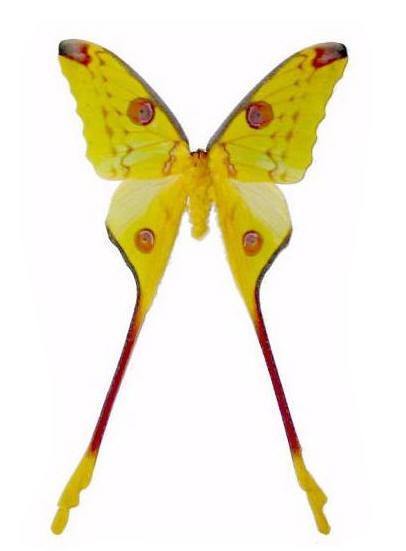 Asian Comet Moth