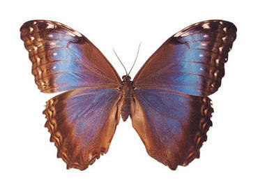 Common Blue Morpho